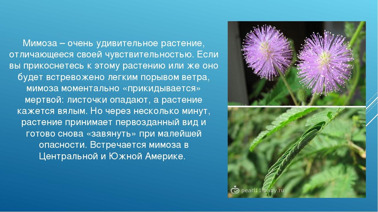 Мимоза – очень удивительное растение, отличающееся своей чувствительностью. Е...