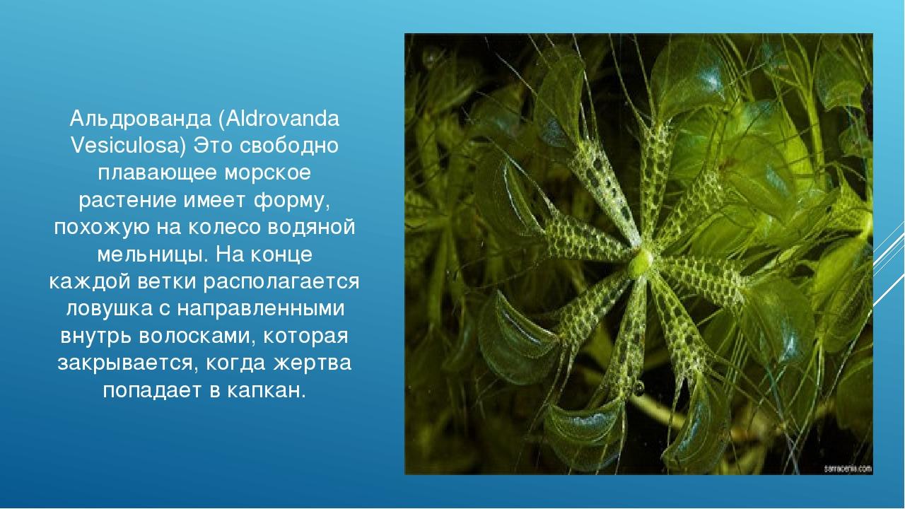 Альдрованда (Aldrovanda Vesiculosa) Это свободно плавающее морское растение и...