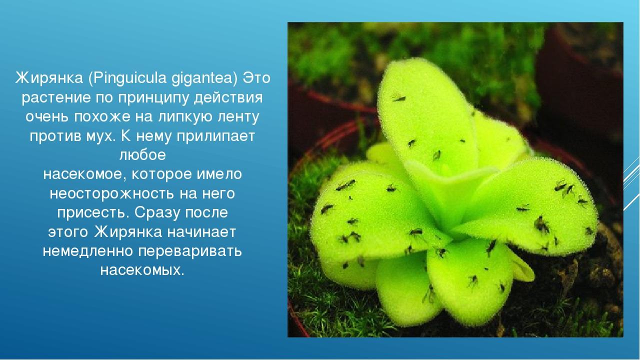 Жирянка (Pinguicula gigantea) Это растение по принципу действия очень похоже...