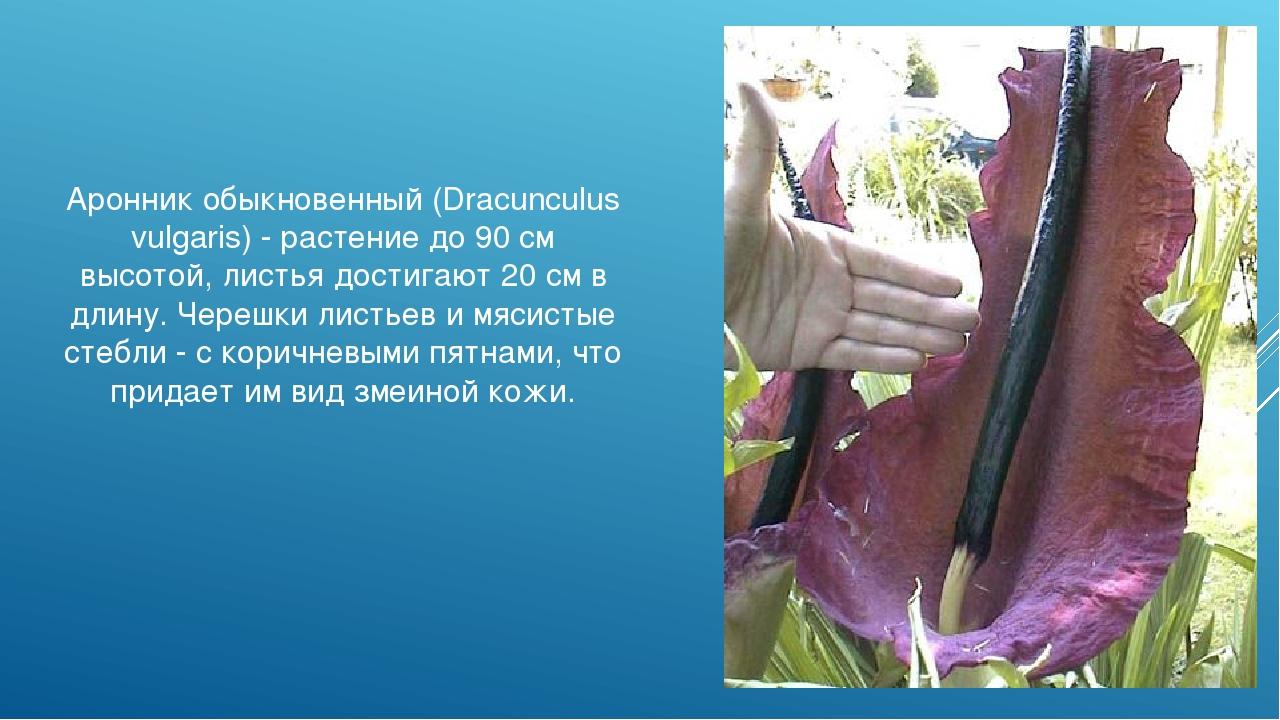 Аронник обыкновенный (Dracunculus vulgaris) - растение до 90 см высотой, лист...