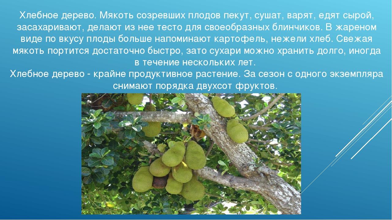 Хлебное дерево. Мякоть созревших плодов пекут, сушат, варят, едят сырой, заса...