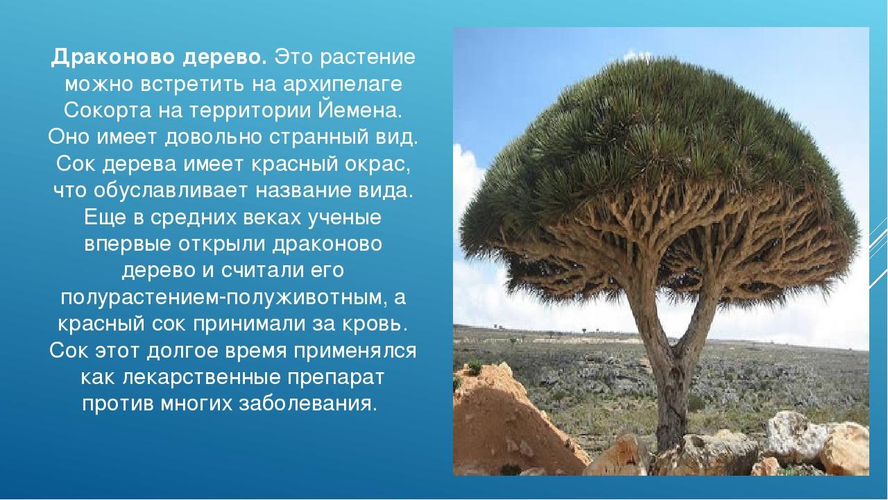Драконово дерево. Это растение можно встретить на архипелаге Сокорта на терри...