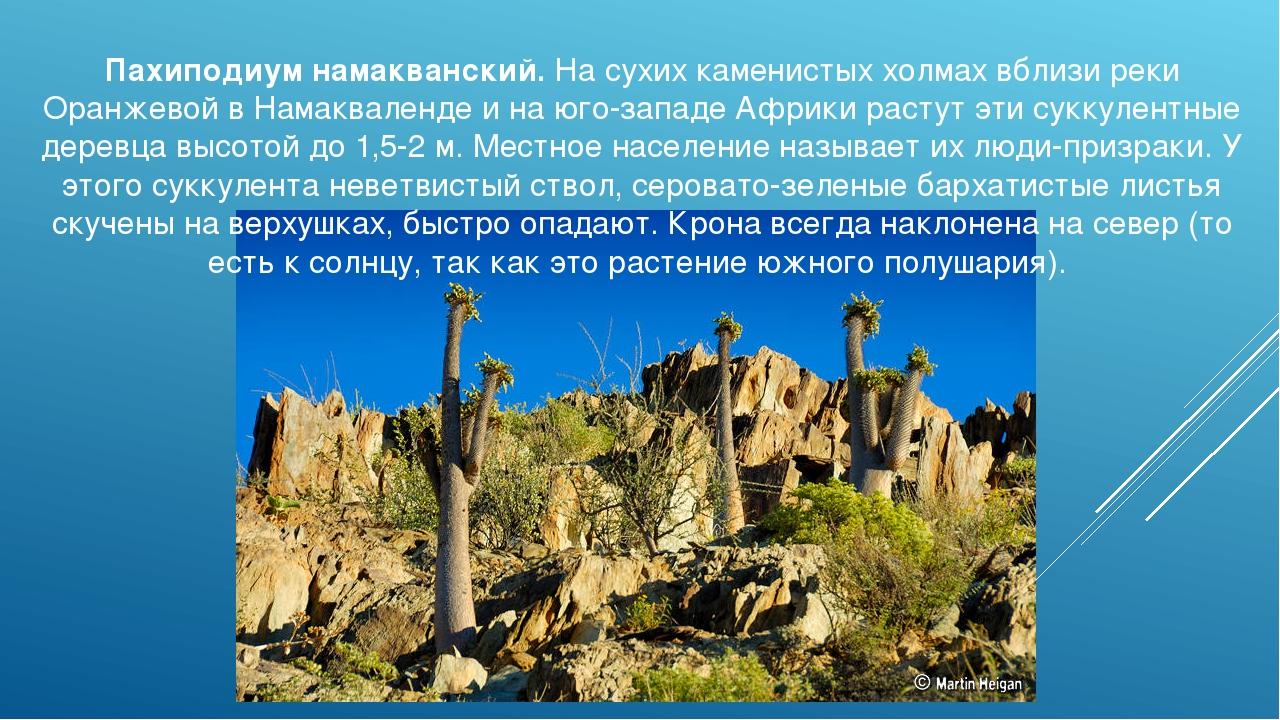 Пахиподиум намакванский. На сухих каменистых холмах вблизи реки Оранжевой в Н...