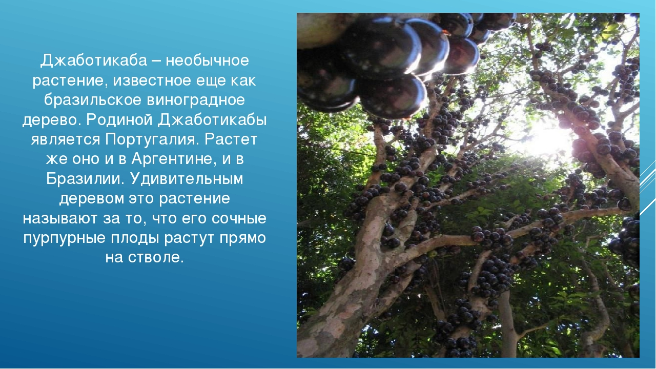 Джаботикаба – необычное растение, известное еще как бразильское виноградное д...
