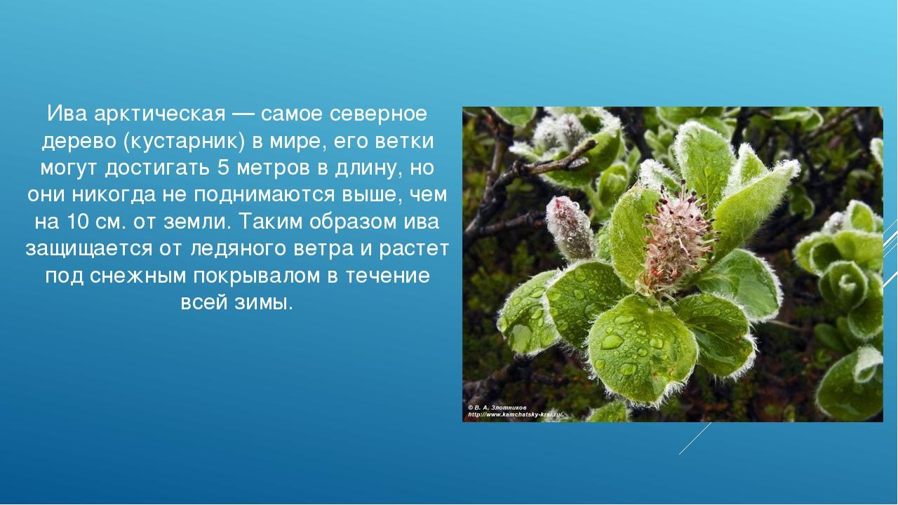Ива арктическая — самое северное дерево (кустарник) в мире, его ветки могут д...
