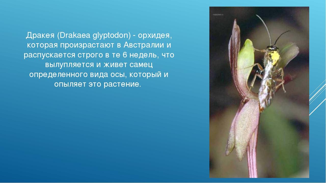 Дракея (Drakaea glyptodon) - орхидея, которая произрастают в Австралии и расп...