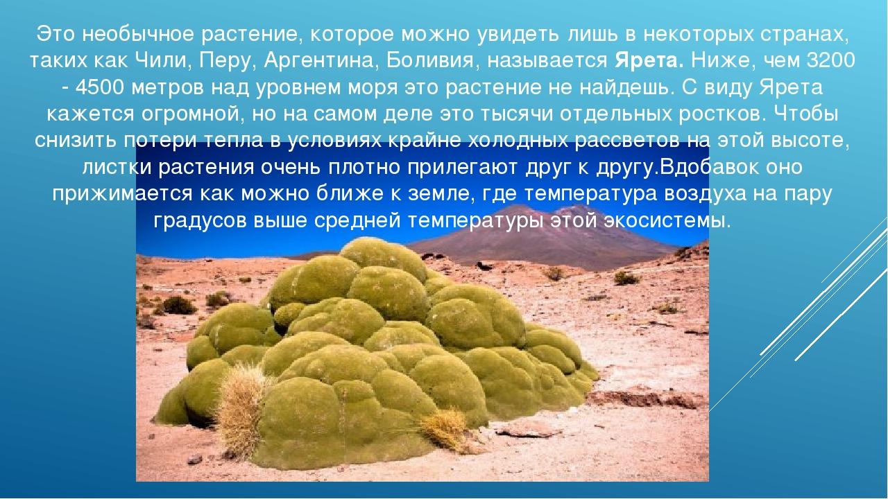 Это необычное растение, которое можно увидеть лишь в некоторых странах, таких...