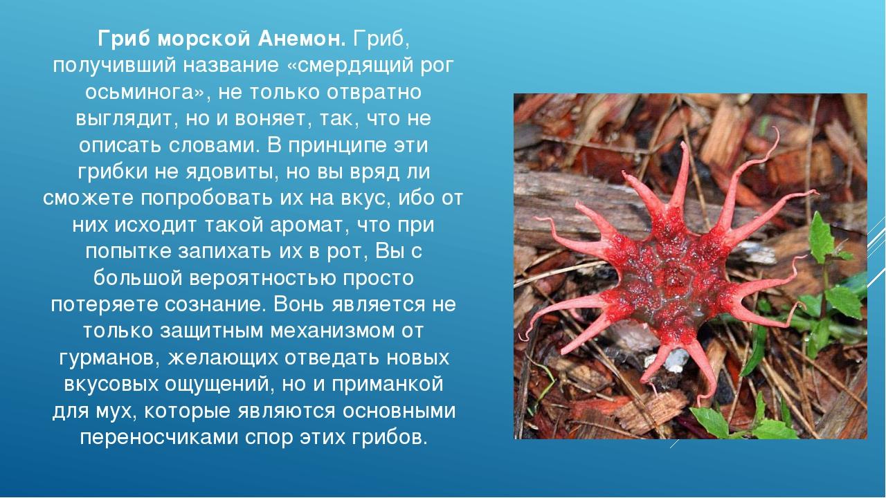 Гриб морской Анемон. Гриб, получивший название «смердящий рог осьминога», не...