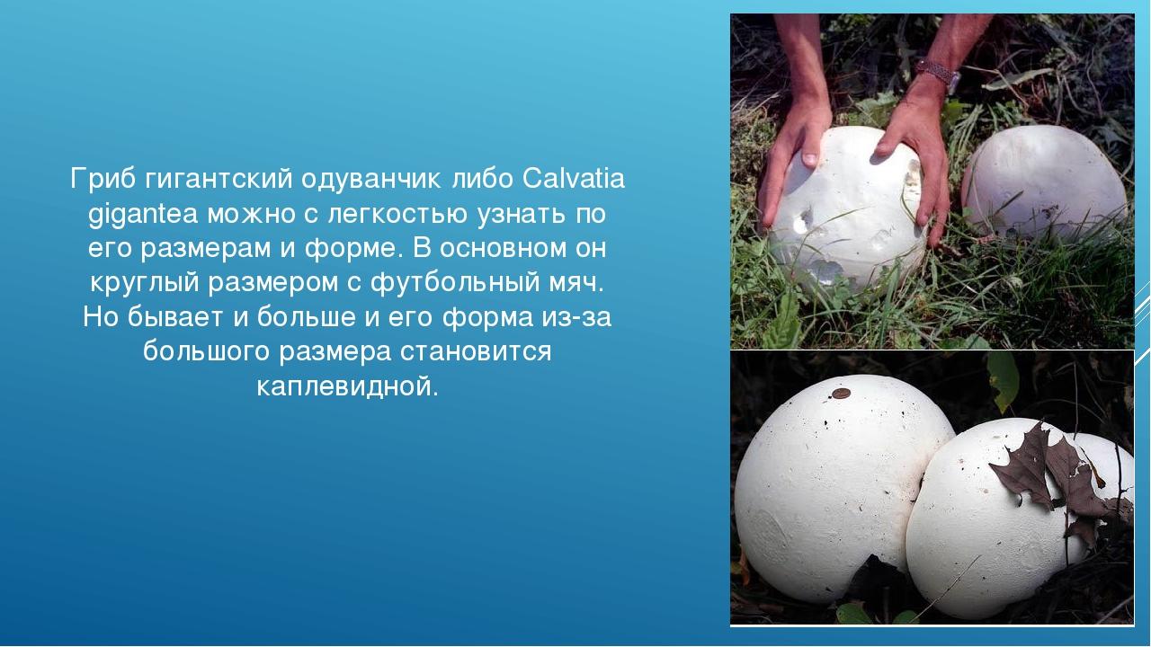 Гриб гигантский одуванчик либо Calvatia gigantea можно с легкостью узнать по...