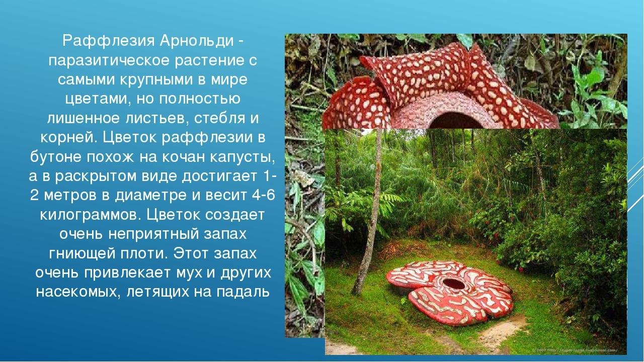 Раффлезия Арнольди - паразитическое растение с самыми крупными в мире цветами...