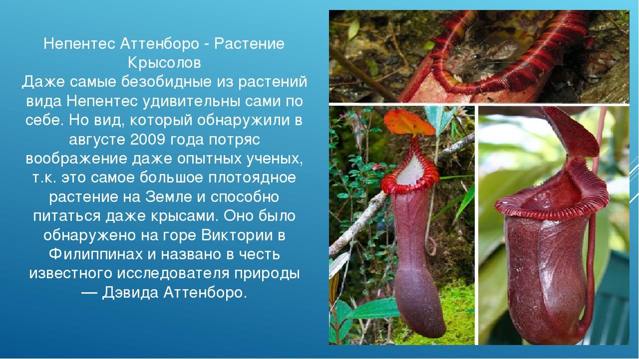 Непентес Аттенборо - Растение Крысолов Даже самые безобидные из растений вида...