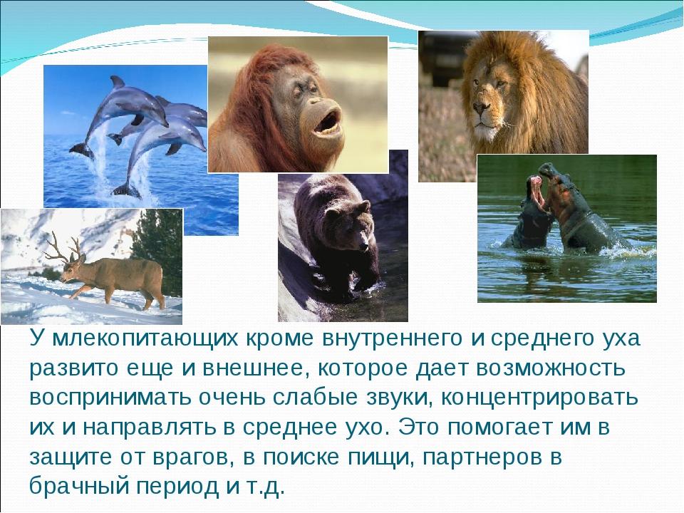 У млекопитающих кроме внутреннего и среднего уха развито еще и внешнее, котор...