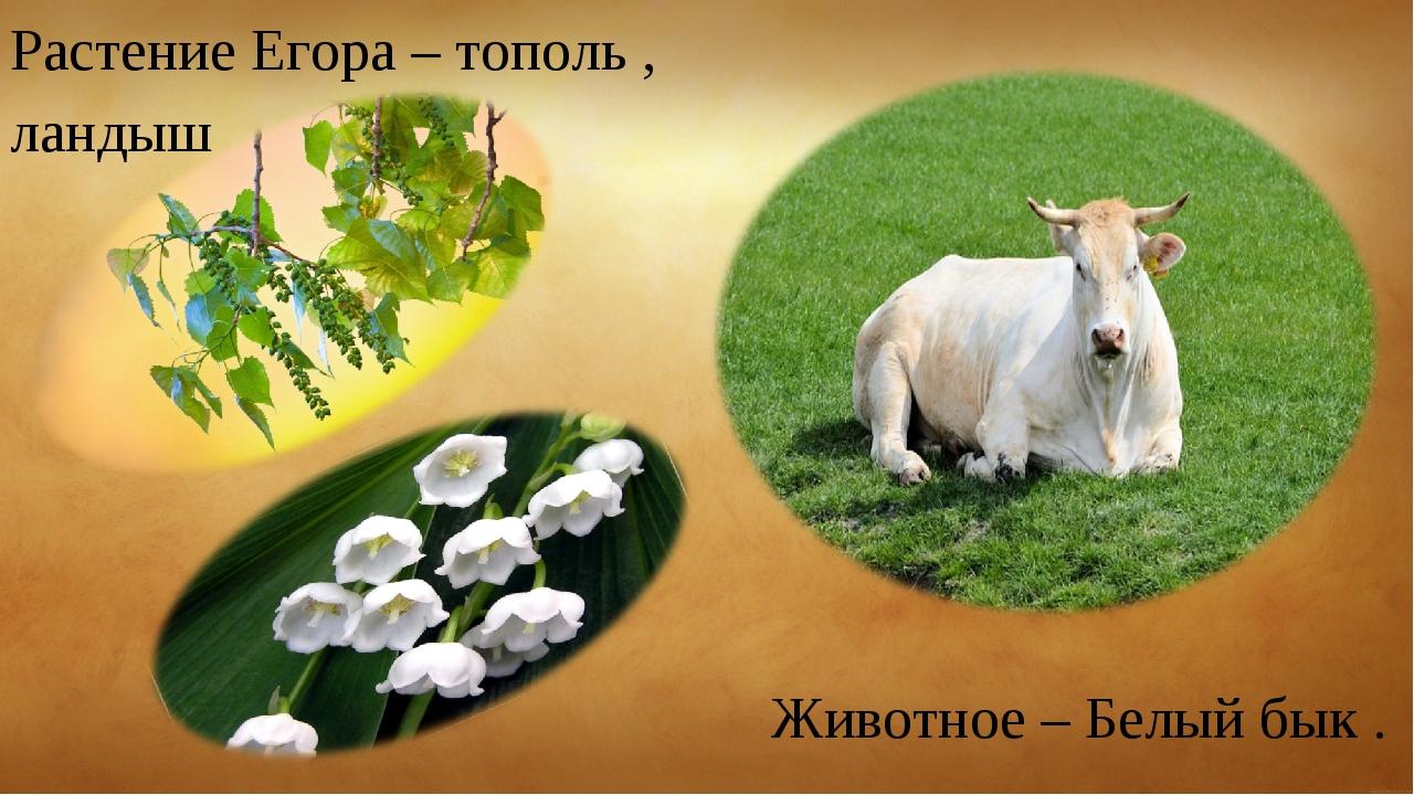 Животное – Белый бык . Растение Егора – тополь , ландыш