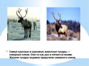 Самые крупные и красивые животные тундры — северные олени. Они-то как раз и п