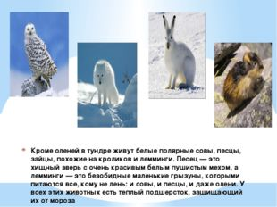 Кроме оленей в тундре живут белые полярные совы, песцы, зайцы, похожие на кро