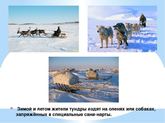 Зимой и летом жители тундры ездят на оленях или собаках, запряжённых в специ...