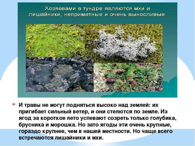 И травы не могут подняться высоко над землей: их пригибает сильный ветер, и о...