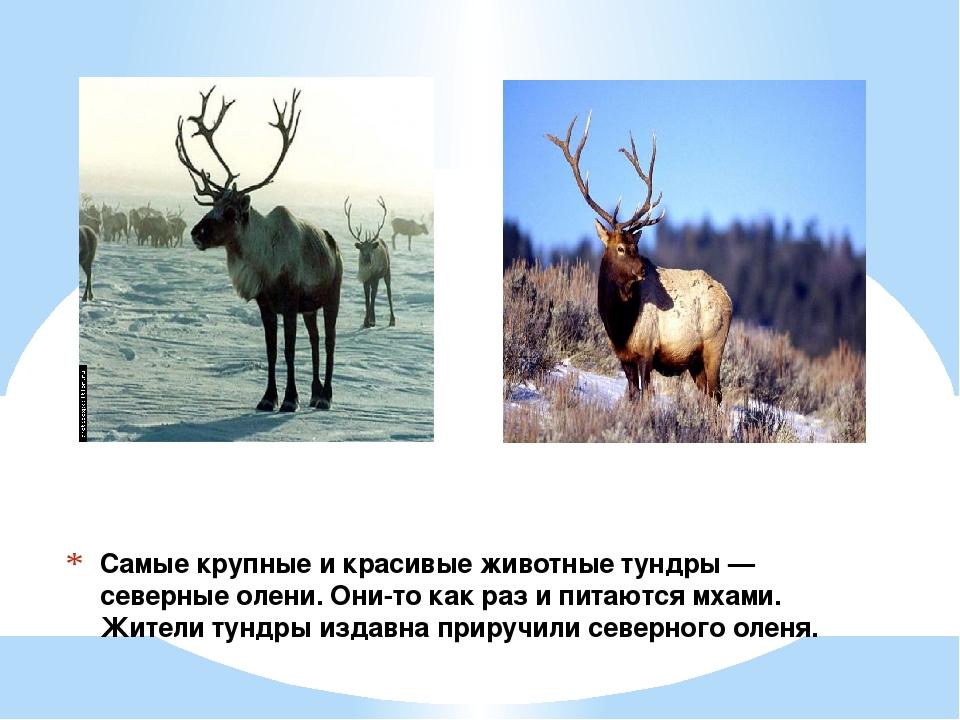 Самые крупные и красивые животные тундры — северные олени. Они-то как раз и п...