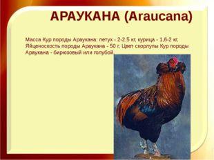 АРАУКАНА (Araucana) Масса Кур породы Араукана: петух - 2-2,5 кг, курица - 1,6