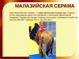 МАЛАЗИЙСКАЯ СЕРАМА Куры Малазийская Серама —самая маленькая порода кур. Созд
