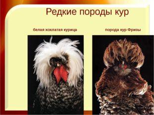 Редкие породы кур порода кур Фризы белая хохлатая курица