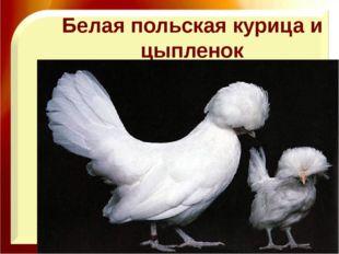Белая польская курица и цыпленок