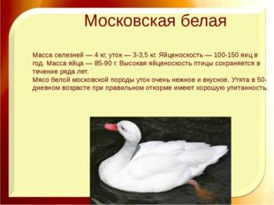 Московская белая Масса селезней — 4 кг, уток — 3-3,5 кг. Яйценоскость — 100-1