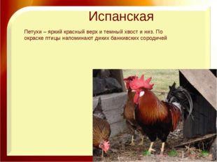 Испанская Петухи – яркий красный верх и темный хвост и низ. По окраске птицы