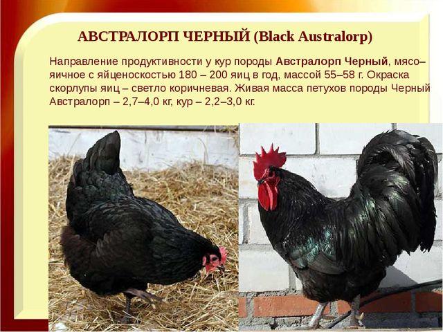 Направление продуктивности у кур породы Австралорп Черный, мясо–яичное с яйце...