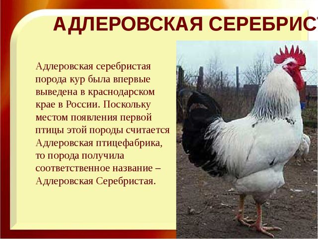 АДЛЕРОВСКАЯ СЕРЕБРИСТАЯ Адлеровская серебристая порода кур была впервые вывед...