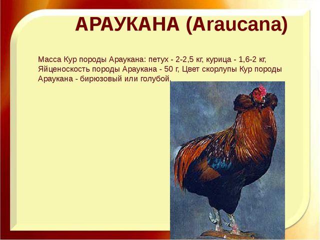 АРАУКАНА (Araucana) Масса Кур породы Араукана: петух - 2-2,5 кг, курица - 1,6...