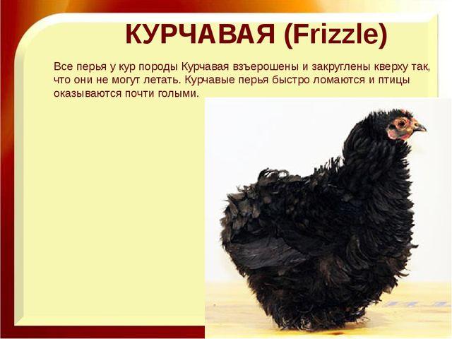 КУРЧАВАЯ (Frizzle) Все перья у кур породы Курчавая взъерошены и закруглены кв...