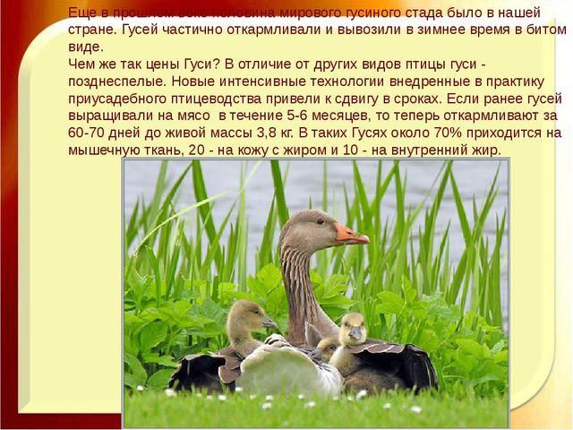 Еще в прошлом веке половина мирового гусиного стада было в нашей стране. Гусе...