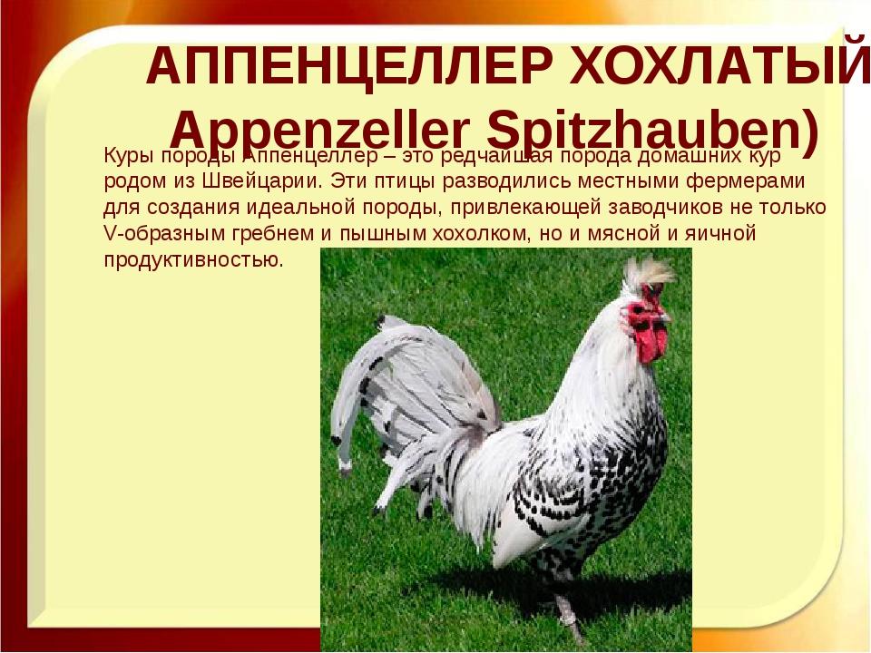 АППЕНЦЕЛЛЕР ХОХЛАТЫЙ (Appenzeller Spitzhauben) Куры породы Аппенцеллер – это...