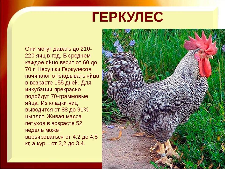 ГЕРКУЛЕС Они могут давать до 210-220 яиц в год. В среднем каждое яйцо весит о...