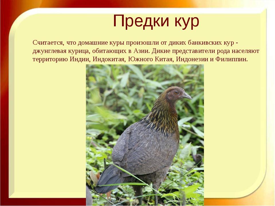 Предки кур Считается, что домашние куры произошли от дикихбанкивских кур- д...