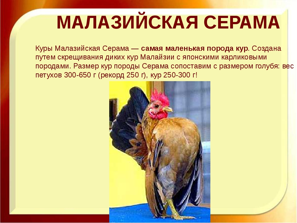 МАЛАЗИЙСКАЯ СЕРАМА Куры Малазийская Серама —самая маленькая порода кур. Созд...