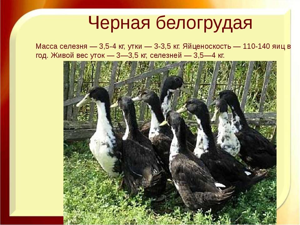 Черная белогрудая Масса селезня — 3,5-4 кг, утки — 3-3,5 кг. Яйценоскость — 1...