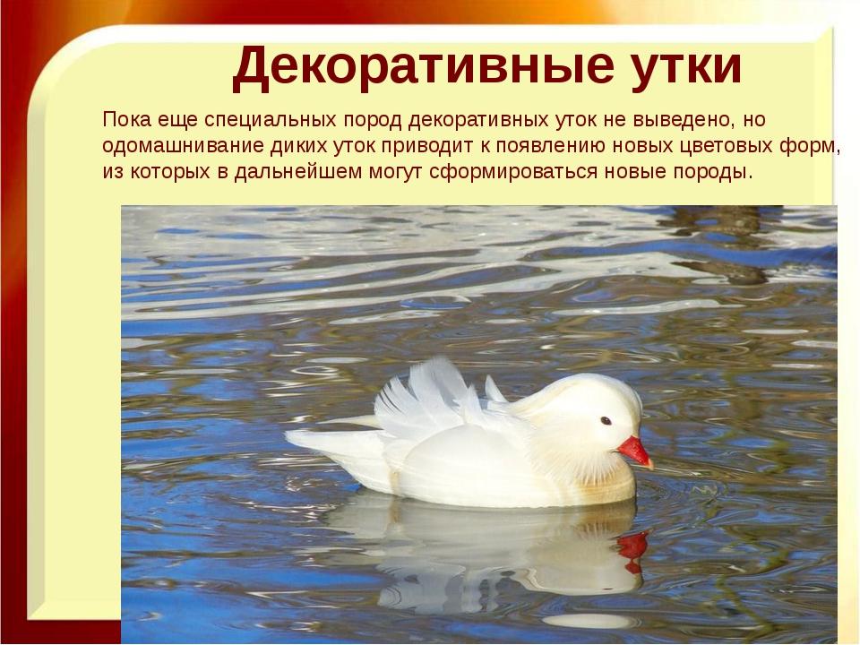 Декоративные утки Пока еще специальных пород декоративных уток не выведено, н...