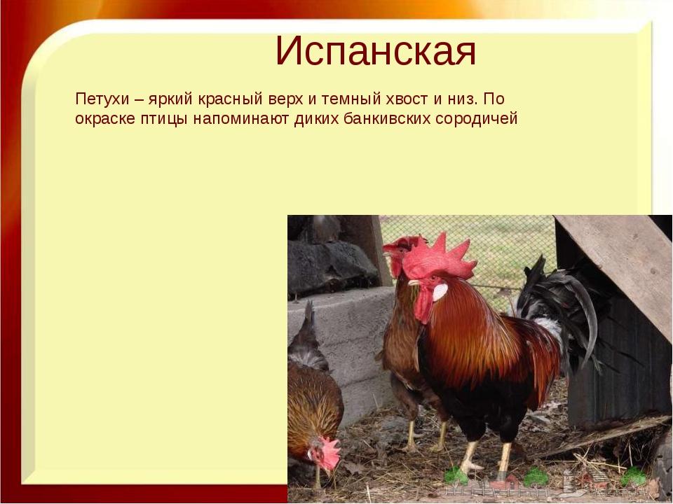 Испанская Петухи – яркий красный верх и темный хвост и низ. По окраске птицы...