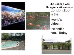 The London Zoo Лондонский зоопарк London Zoo is the world's oldest scientific