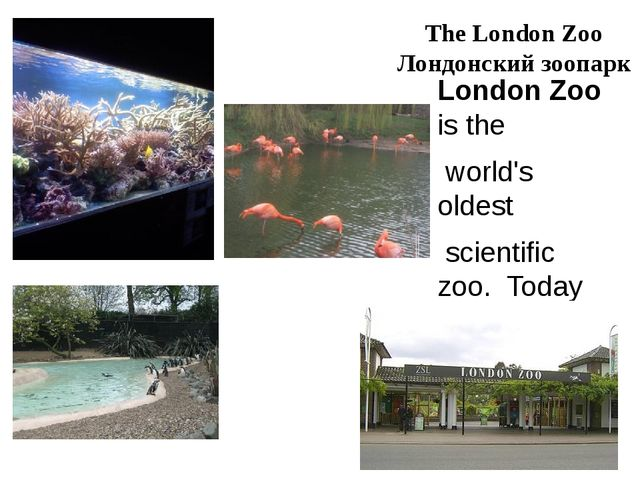 The London Zoo Лондонский зоопарк London Zoo is the world's oldest scientific...