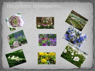 Не губите первоцветы…