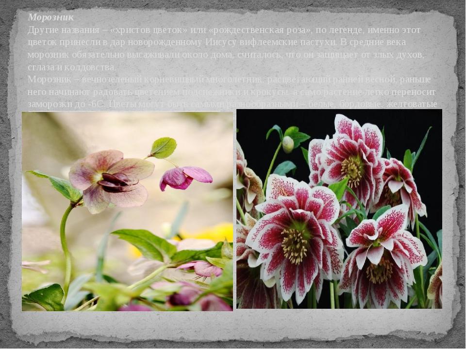 Морозник Другие названия – «христов цветок» или «рождественская роза», по лег...