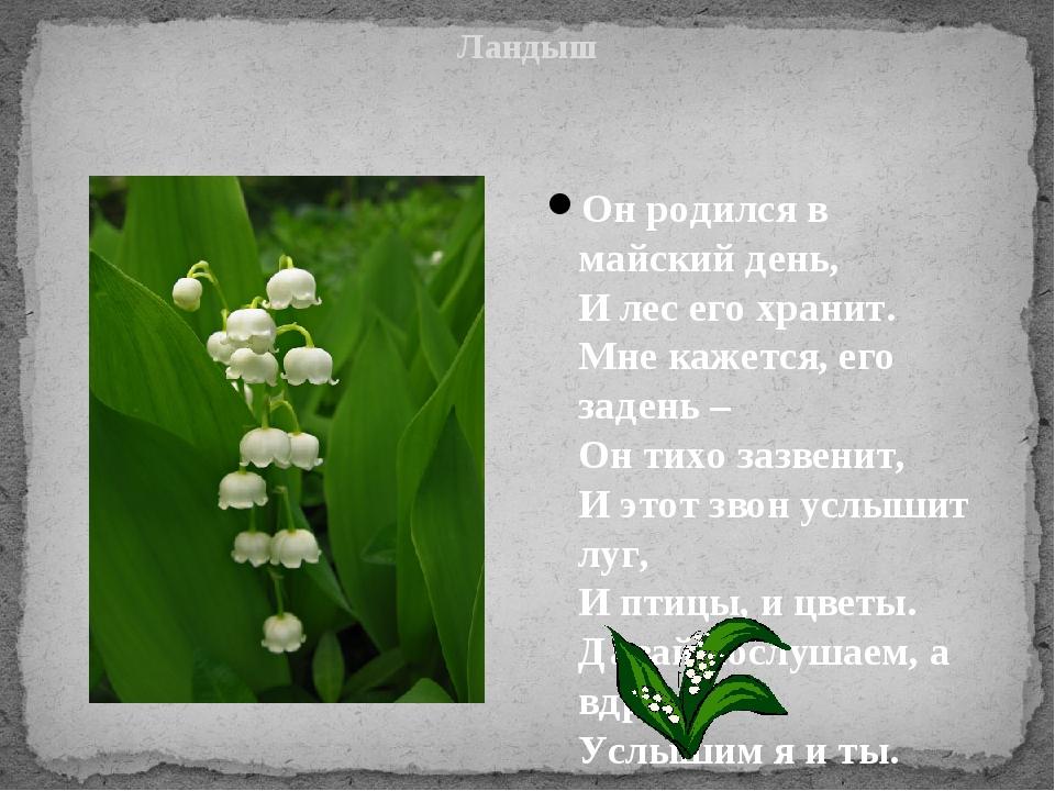 Ландыш Он родился в майский день, И лес его хранит. Мне кажется, его задень –...