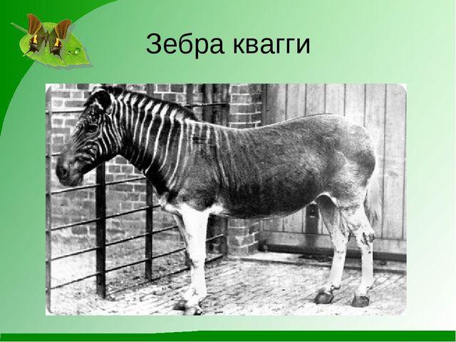 Зебра квагги
