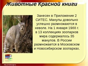Животные Красной книги Занесен в Приложение 2 СИТЕС. Манулы довольно успешно