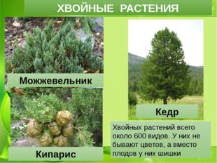 ХВОЙНЫЕ РАСТЕНИЯ Можжевельник Кедр Кипарис Хвойных растений всего около 600 в