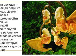 Вот эта орхидея – настоящая ловушка для пчел. Цветок заставляет насекомое про