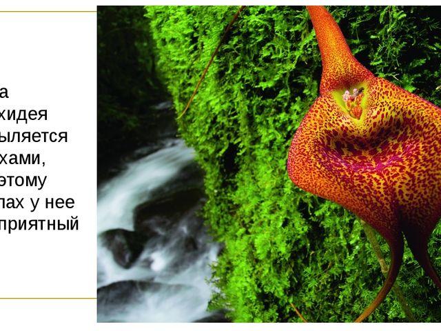 Эта орхидея опыляется мухами, поэтому запах у нее неприятный.